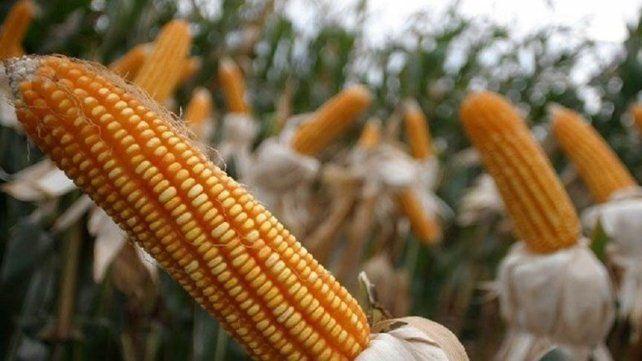 Si bien se espera un menor rendimiento del maíz en Córdoba