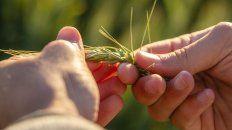 El horizonte productivo es de 20,5 millones de toneladas de trigo.