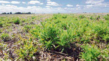 En Argentina, las malezas resistentes en trigo pertenecen a las crucíferas, gramíneas y otras latifoliadas como Rama negra, Yuyo colorado y algunos cardos.