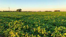 Márgenes. La soja sigue perdiendo terreno frente al maíz.