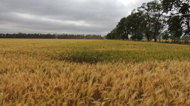 Campañón. La siembra de trigo está muy avanzada. Las reservas de agua ayudarán a una buena cosecha.