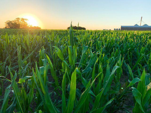 Con el aumento de los precios, el maíz se pone más competitivo que la soja, aseguran los especialistas.