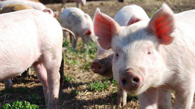 La inteligencia artificial será el nuevo gurú de la producción porcina.