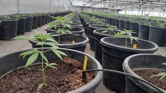 El Inta trabaja en 11 proyectos para el desarrollo de cannabis medicinal distribuidos en siete provincias (Foto BCBD Medicinal)