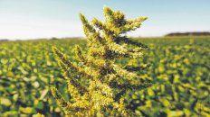 La sucesión de malezas resistentes obligó a adoptar nuevos planteos productivos.