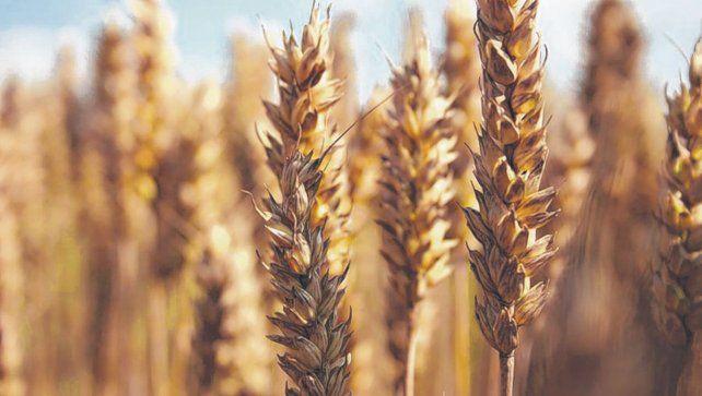 Trigo. La producción de las regiones Norte y Central se vino a pique