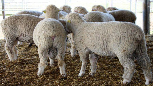 Los créditos para productores ovinos son para adquirir insumos
