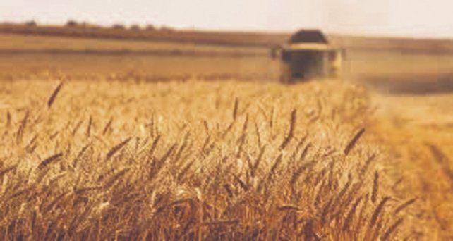 Actualización. Se estima que la producción triguera en la región llegará a 4