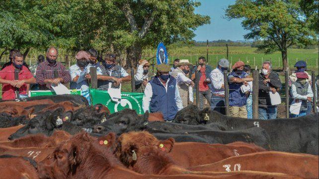 Estas pruebas permiten que los toros demuestren a campo todo el potencial genético de Angus