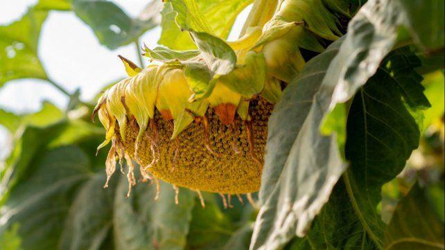Girasol: semillas con mejor rendimiento y más aceite