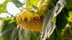 girasol: semillas con mejor rendimiento y mas aceite