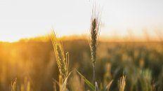 En esta campaña se sembraron todos los lotes de trigo intencionados, dijo GEA.