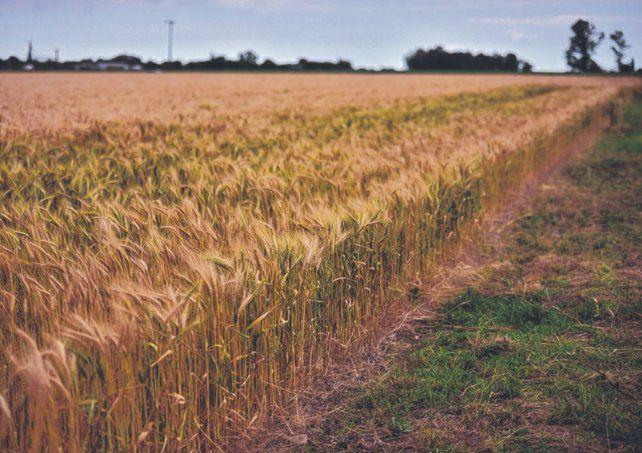 Las últimas lluvias y los valores a futuro del trigo impulsan la intención de siembra del cereal.