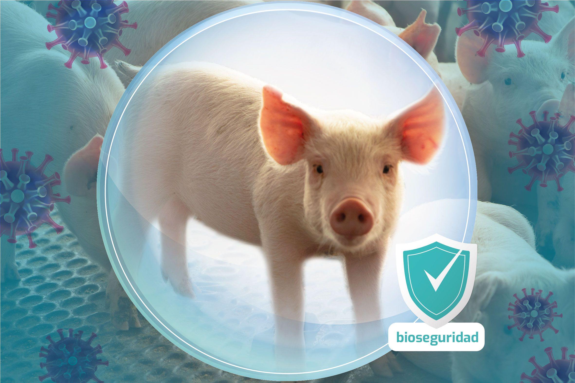 bioseguridad, clave para la prevencion de la peste porcina africana