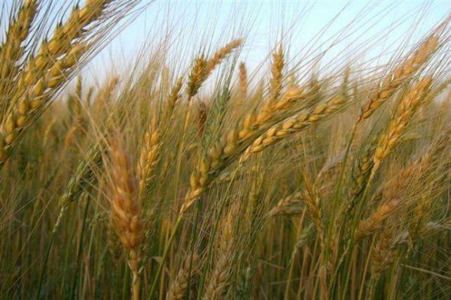 el-precio-del-trigo-entrega-noviembrediciembre-rosario-oscila-us-190-y-195tn-un-15-mas-que-2020