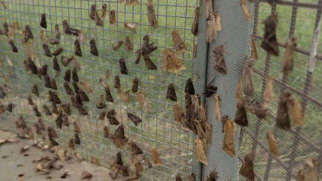 Alarma de plagas: defoliadoras y chinche en soja de segunda