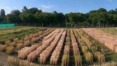 con simulaciones, apuntan a optimizar el manejo de trigo y cebada