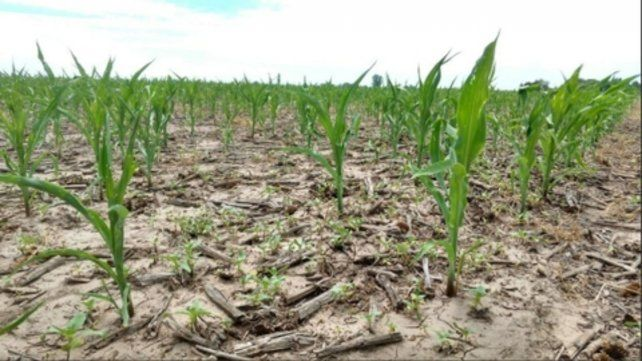 Crítico. La falta de agua golepará al maíz en la etapa clave de llenado de grano.