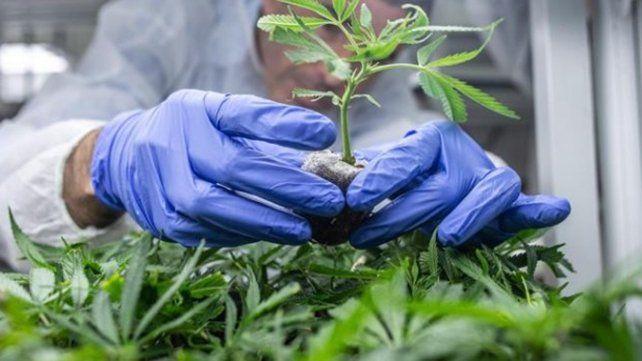 Santa Fe a un paso de consolidar su propia producción de aceite de cannabis