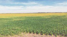 Otros tiempos. El cultivo de trigo atravesó momentos críticos por la falta de agua en la anterior campaña.