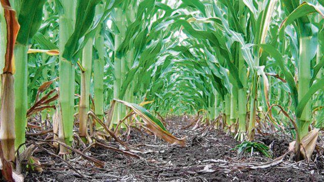 Las Bolsas indican que la oferta y la demanda de maíz reflejan existencias muy por encima de las necesidades del mercado interno y de exportación.