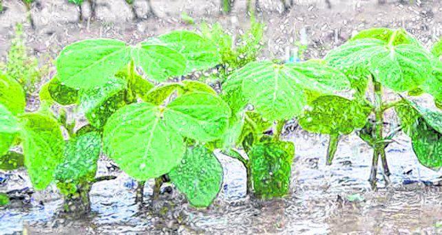 Lluvia. La siembra de soja arranca con un nuevo escenario de precipitaciones