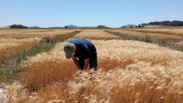 El uso de fertilizantes órgano-minerales con P y N incrementó el rinde del trigo en un 19% respecto a fuentes inorgánicas
