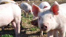 Peste porcina. Ante la falta de vacunas, la contención de la peste depende de la detección temprana y sacrificio de los animales infectados.