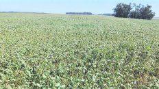 Golpe de calor. En zonas del norte de Buenos Aires y sur de Santa Fe las altas temperaturas golpearon a la soja.