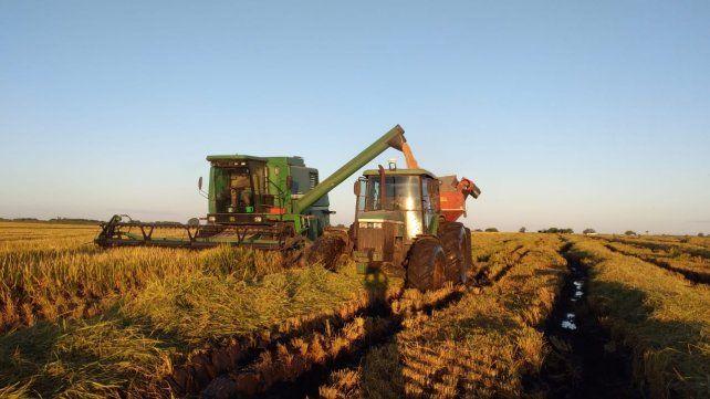 Arroz: Entre Ríos registró récord de rindes y la producción aumentó un 23%