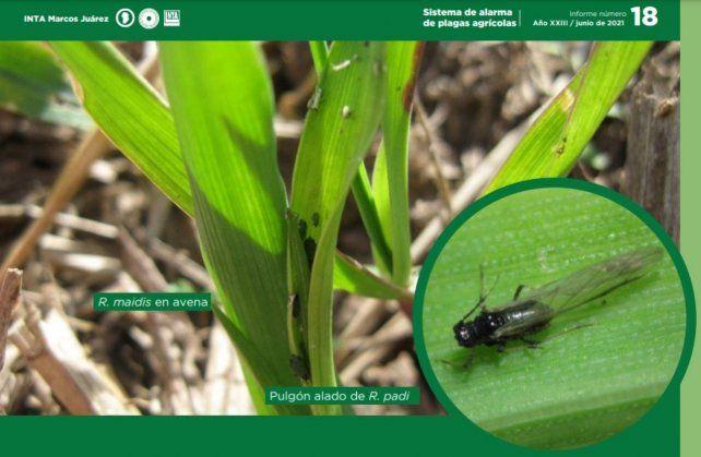 Plagas: alertan presencia de pulgones en los cultivos de invierno
