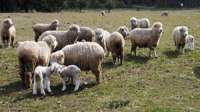 Oportunidades. La carne ovina tiene mercado de exportación. Es la única aceptada por todas las religiones.