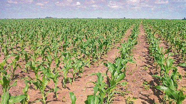 Atrás. La rotación se podría ver afectada en esta campaña y el maíz podría perder terreno frente a la soja.