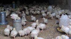 Avicultura. El gobierno anunció líneas de financiamiento por $ 2 mil millones para la actividad.