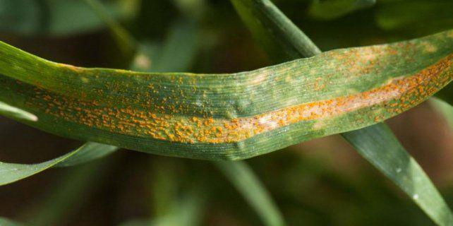 las-enfermedades-obligan-seguir-al-trigo-lupa