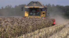 Cultivos. Cosecha en campos de girasol al suroeste de Francia.