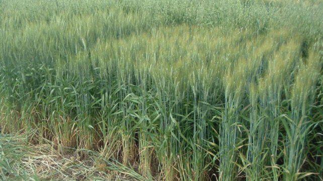 Los ensayos del Inta demuestran que es posible acercarse a variedades de trigo de alto rendimiento